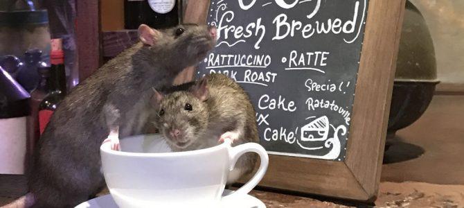 Kava sa štakorima!