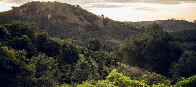 Kalifornija – nova uzgajavačka meka kave